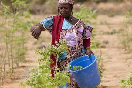 Niger's hunger-fighting trees